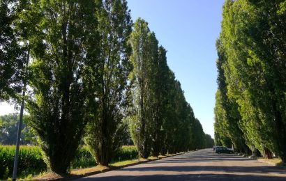 Un esposto per salvare i pioppi di via Galvani